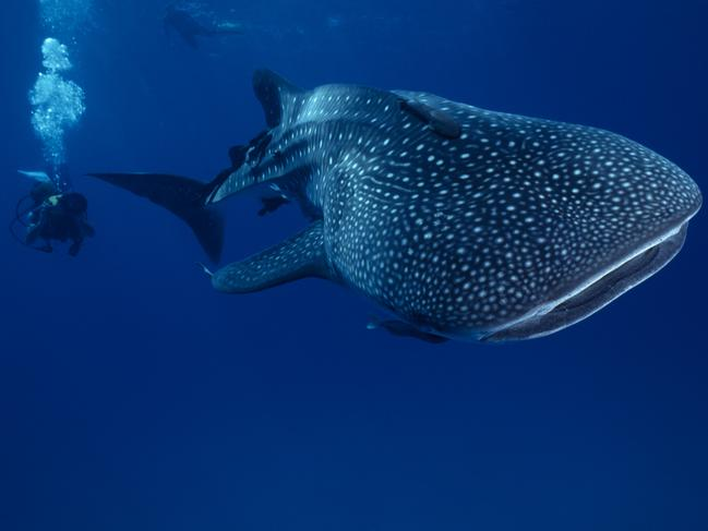 SWIM WITH WHALE SHARKS — NINGALOO REEF, WA, AUSTRALIA: At 10-18m long, whale sharks are the biggest fish in the world. And while there are only a handful of destinations around the world where sightings are almost guaranteed, luckily for us Aussies one is right on our doorstep: Western Australia's Ningaloo Reef. Dwarfed in comparison to the huge, plankton-eating wonders, snorkellers can get up close to these gentle giants of the deep when they visit the reef in large numbers every year, April to July. Whale sharks aside, the marine park is also home to the world's largest fringing coral reefs, which means you can take in an underwater display of colourful coral, turtles and playful tropical fish. Tours depart daily during the season from both Exmouth and Coral Bay.  westernaustralia.com