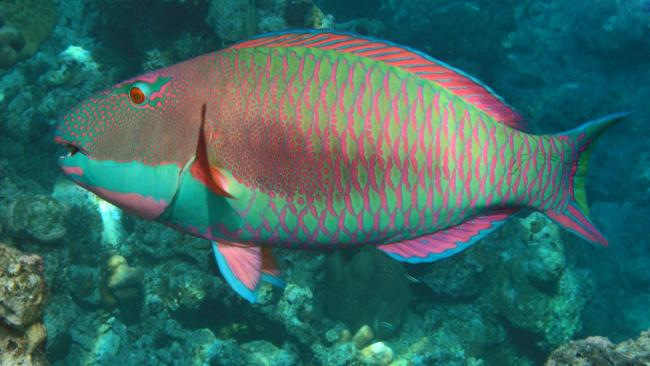 14/18Parrotfish sleep in a cocoon of mucusThe Parrot Fish males are a vivid neon color, green, red, turquoise and pink. They are named for their dentition, which forms a parrot-like beak.They can be seen in the Maldives coral reef and in tropical seas, for snorkelers delight.