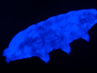 A species of tardigrade that glows blue in UV light. Picture: Suma et al/Biology Letters