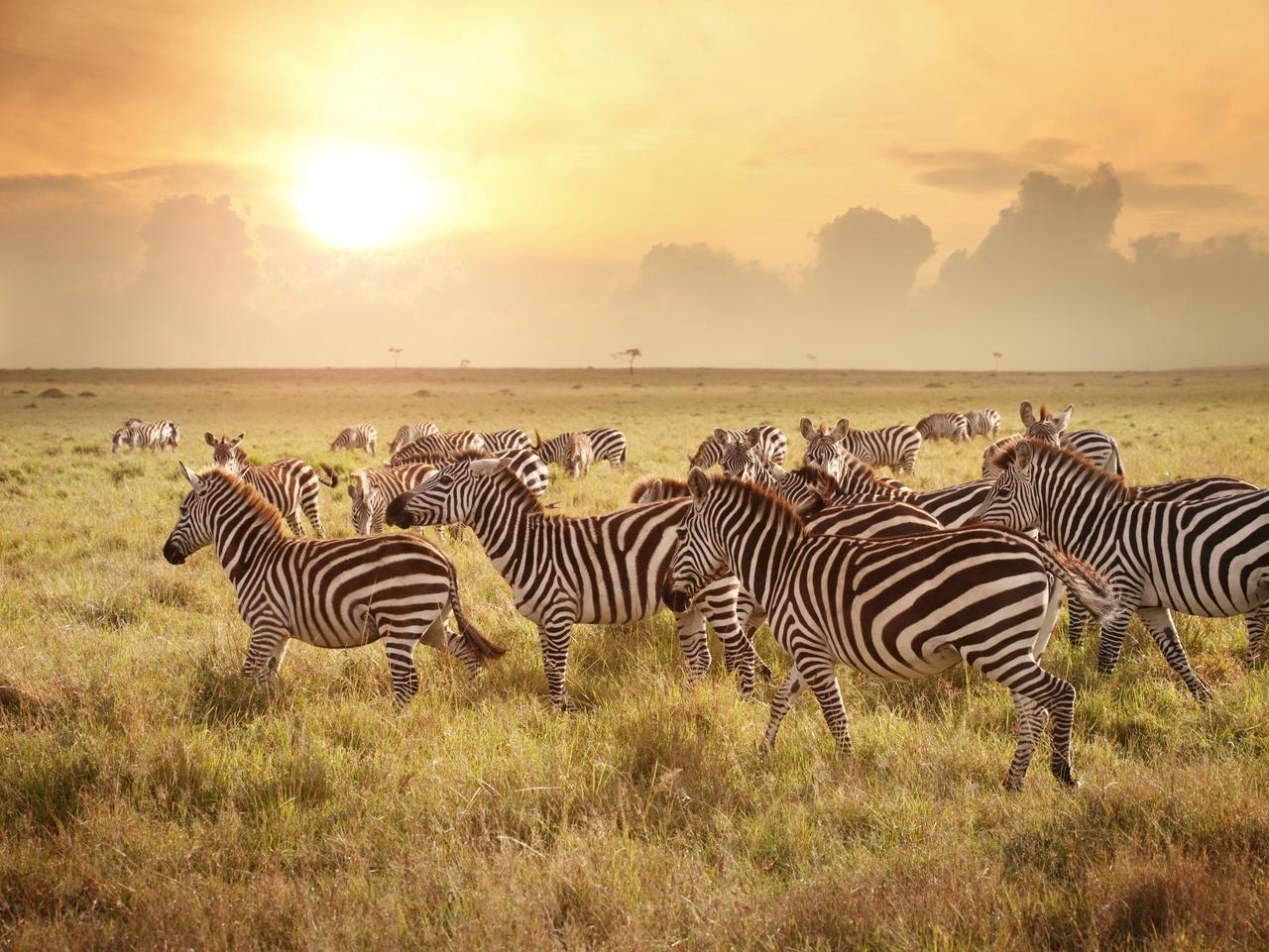 Zebras in the morning