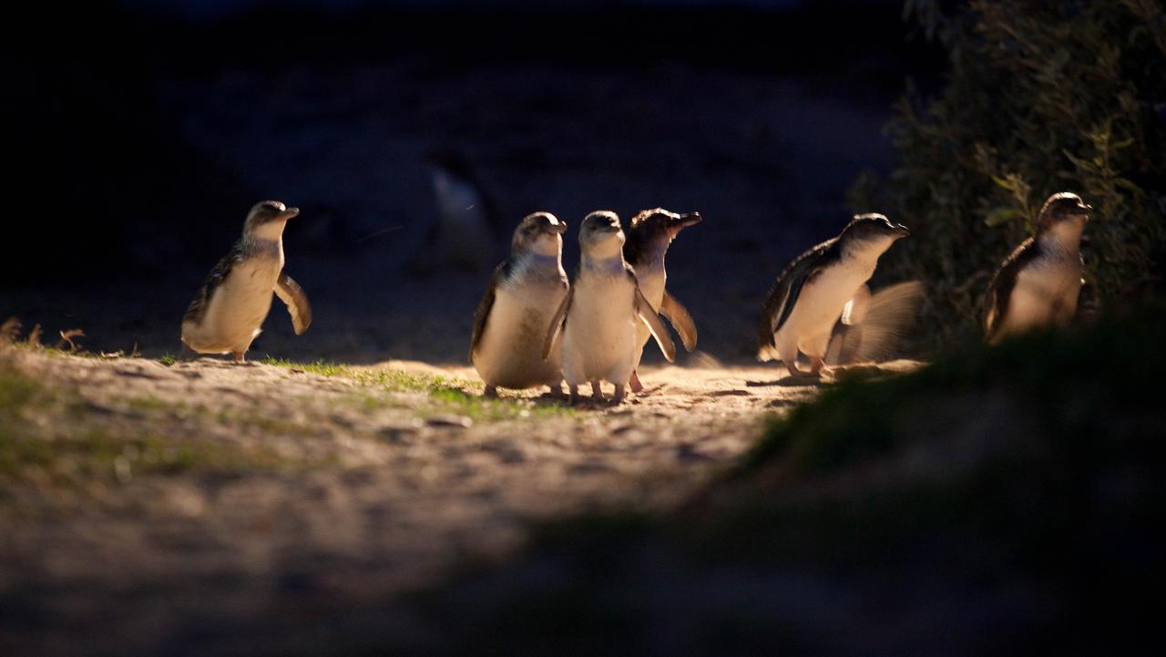 It's not a trip to Phillip Island without seeing the penguins on parade.