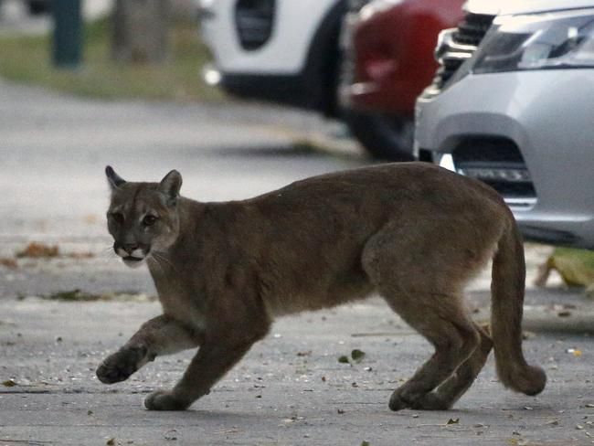SANTIAGO, CHILE This young puma, although cute, could actually do a lot of damage in the residential streets of Santiago, Chile, after venturing down into town from the surrounding mountains. Picture: AFP