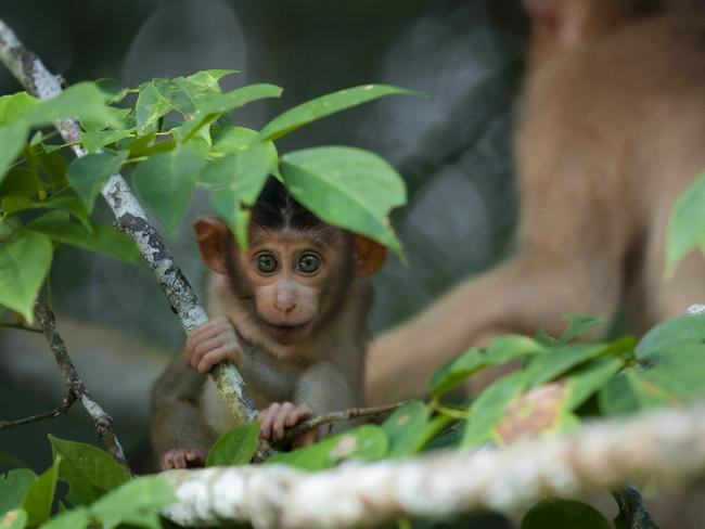 """YOUNG TRAVEL PHOTOGRAPHER OF THE YEAR (AGED 15-18 YEARS): ANKIT KUMAR (INDIA)  KINABATANGAN RIVER, BORNEO, MALAYSIA: """"A pig-tailed macaque grabs onto a branch and looks into the camera"""". Picture: Ankit Kumar/tpoty.com"""
