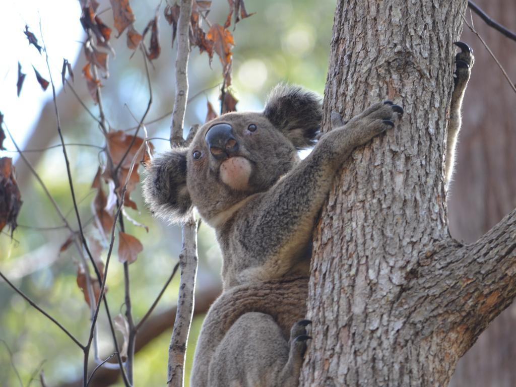 NSW's koala population is in desperate need of a helping hand with experts fearing they're on track to be extinct in the state by 2050. Picture: Supplied