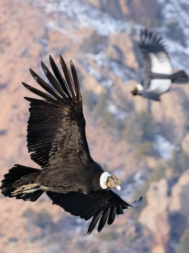 "In this undated photo provided by Alvaro Moya Riffo in July 2020, an Andean condor soars above the Patagonian steppe in Argentina. For the first time, a team of scientists strapped recording equipment they called ""daily diaries"" to eight condors in Patagonia, to record each wingbeat over more than 250 hours of flight time. Incredibly, the birds spent just 1% of their time aloft flapping their wings, mostly during take-off. One bird flew more than five hours, covering more than 100 miles (160 km), without flapping its wings. (Alvaro Moya Riffo via AP)"