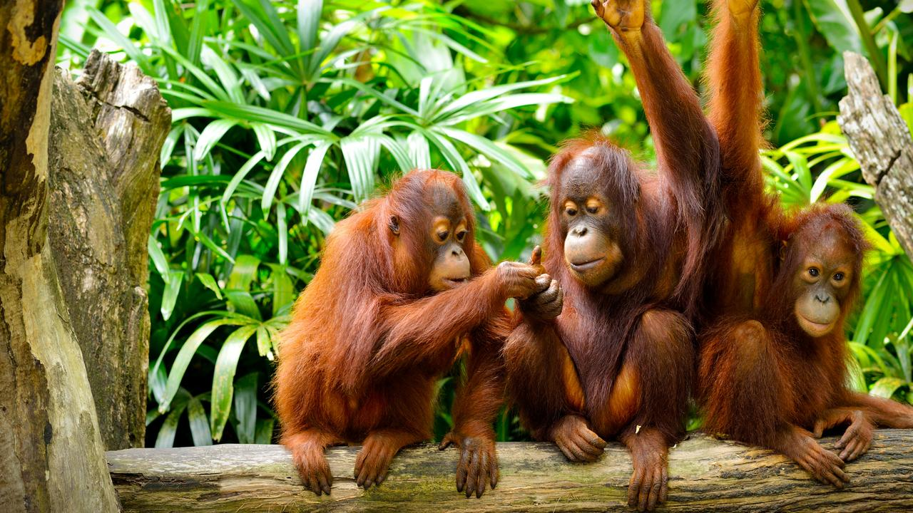 Orang-utans of Borneo. Picture: supplied