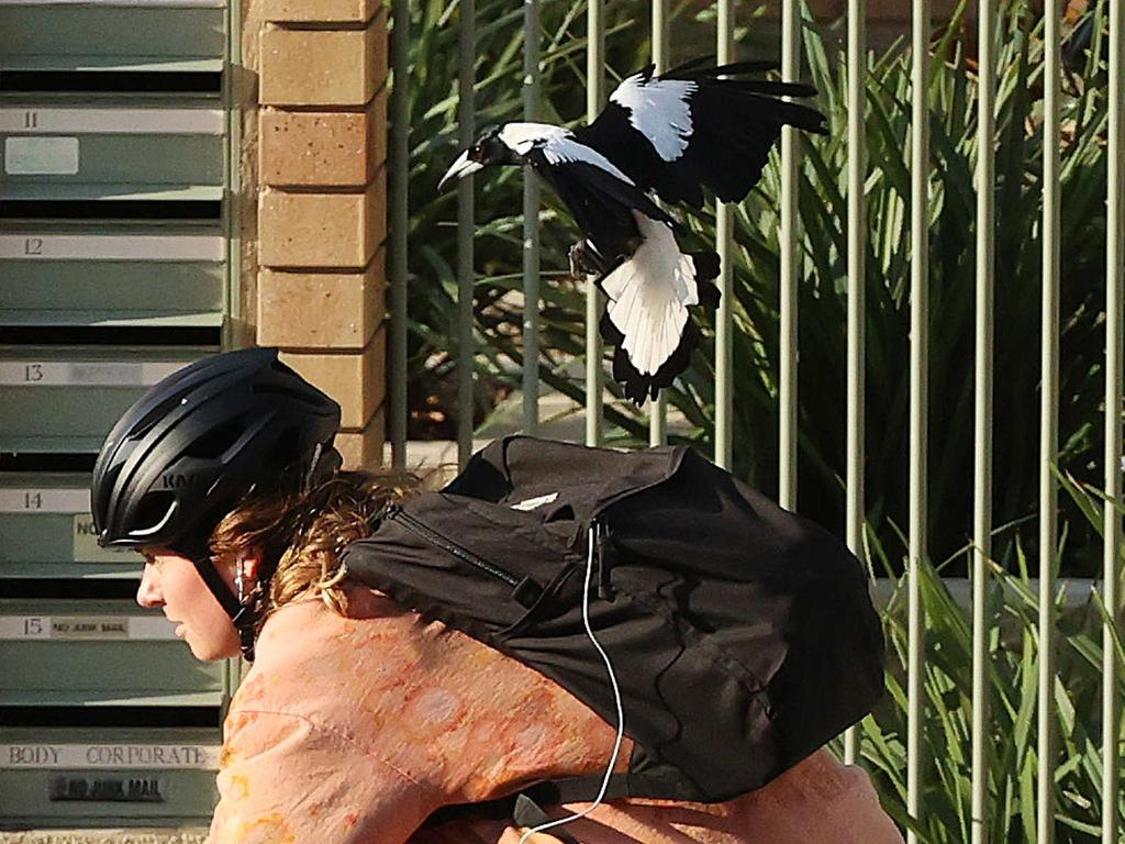 A magpie swooping a cyclist on Sandford Street, St. Lucia. Picture: Liam Kidston