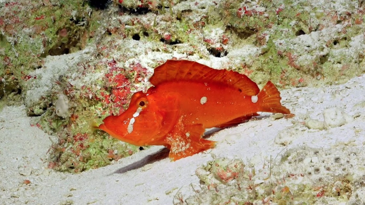 Scientists have viewed the deepest regions of the Great Barrier Reef Marine Park and found a rare scorpion fish, never before seen in Australian waters.