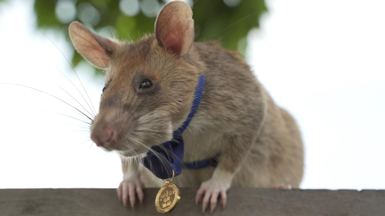 Magawa, an African giant pouched rat wearing his gold medal received from PDSA for his work in detecting landmines in Siem Reap, Cambodia. Picture: AFP/PDSA