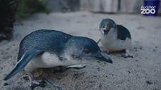 NZ: Rescued Little Penguins With Big Personalities at Auckland Zoo July 22