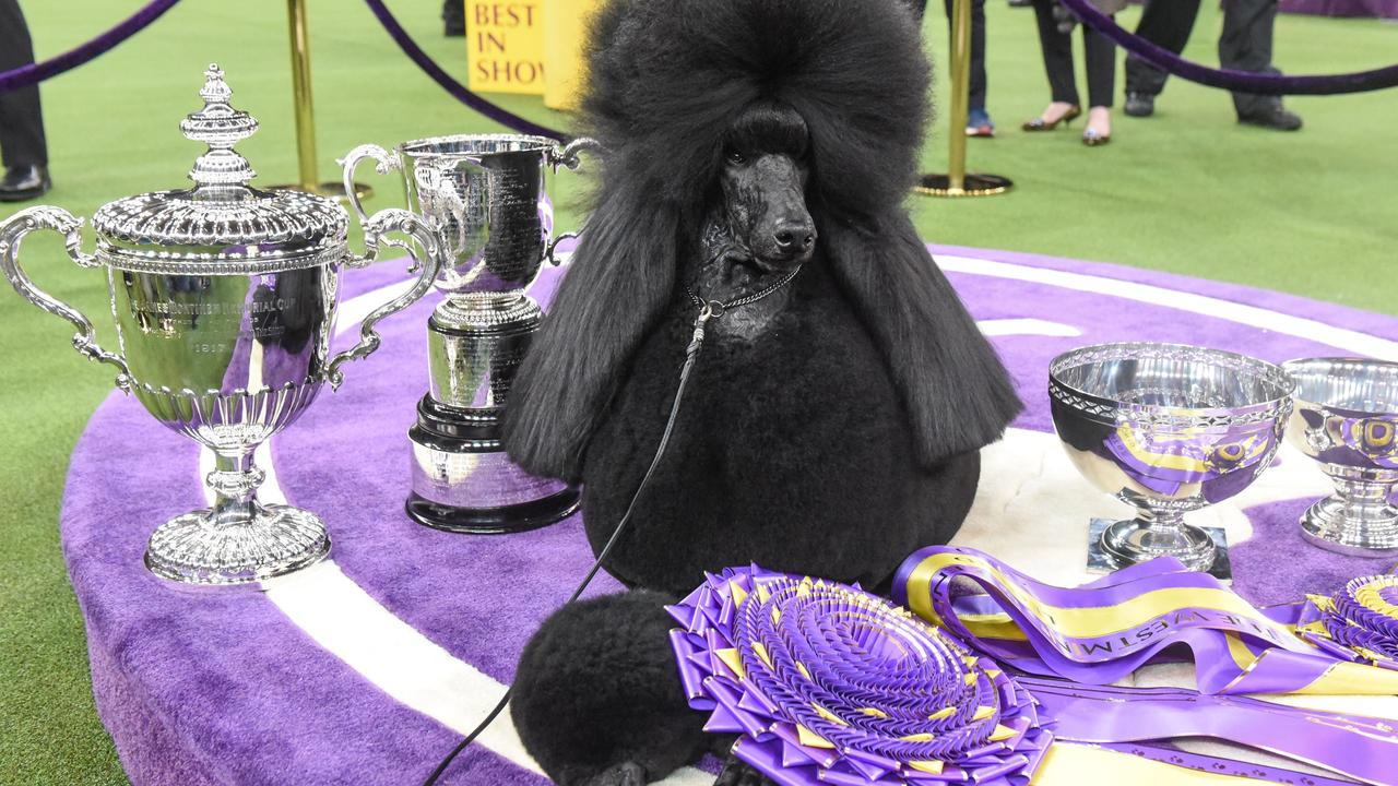 Siba sits on the winner's circle after winning Best in Show during the annual Westminster Kennel Club dog show on February 11, 2020 in New York City, US. Picture: Getty Images