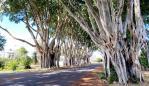 Fig Tree Avenue, Grafton. Picture: Andrea Black