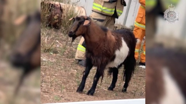 Silly Billy! Police Help Rescue Goat Stuck in Water Tank in Queensland