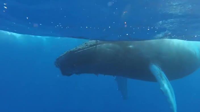 Humpback whale in slumber