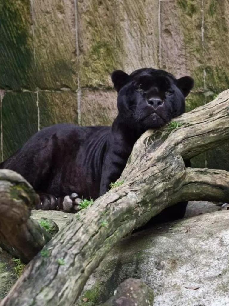 A black panther seized by cops during a raid on a drug bosses' residence in Mexico City.