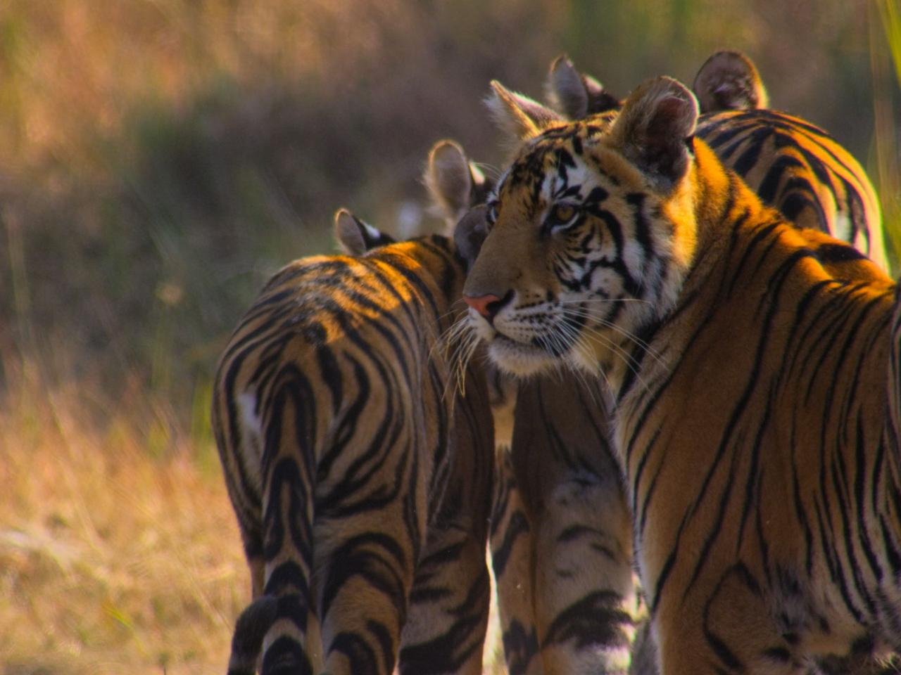 Tiger cubs with mother, Kanha National Park, India SCREEN GRAB
