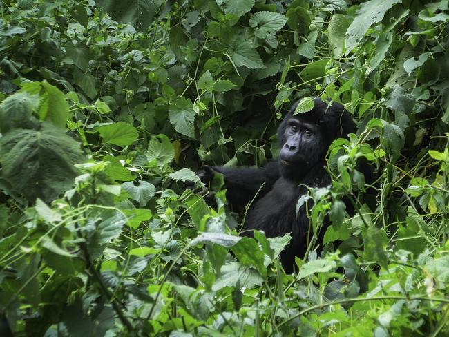 UGANDA, 7-DAY PACKAGE, $3127 Trek to spot chimps, gorillas, elephants and hippos in Uganda's Queen Elizabeth National Park and save more than $1000 a person when you pay from $3127, based on an October 4, 2019 departure. Highlights include a chimpanzee trek, guided gorilla trekking in Bwindi Impenetrable National Park and a visit to Kigali Genocide Museum. Book by July 31, 2019. Ph 1300 180 969, gadventures.com.au