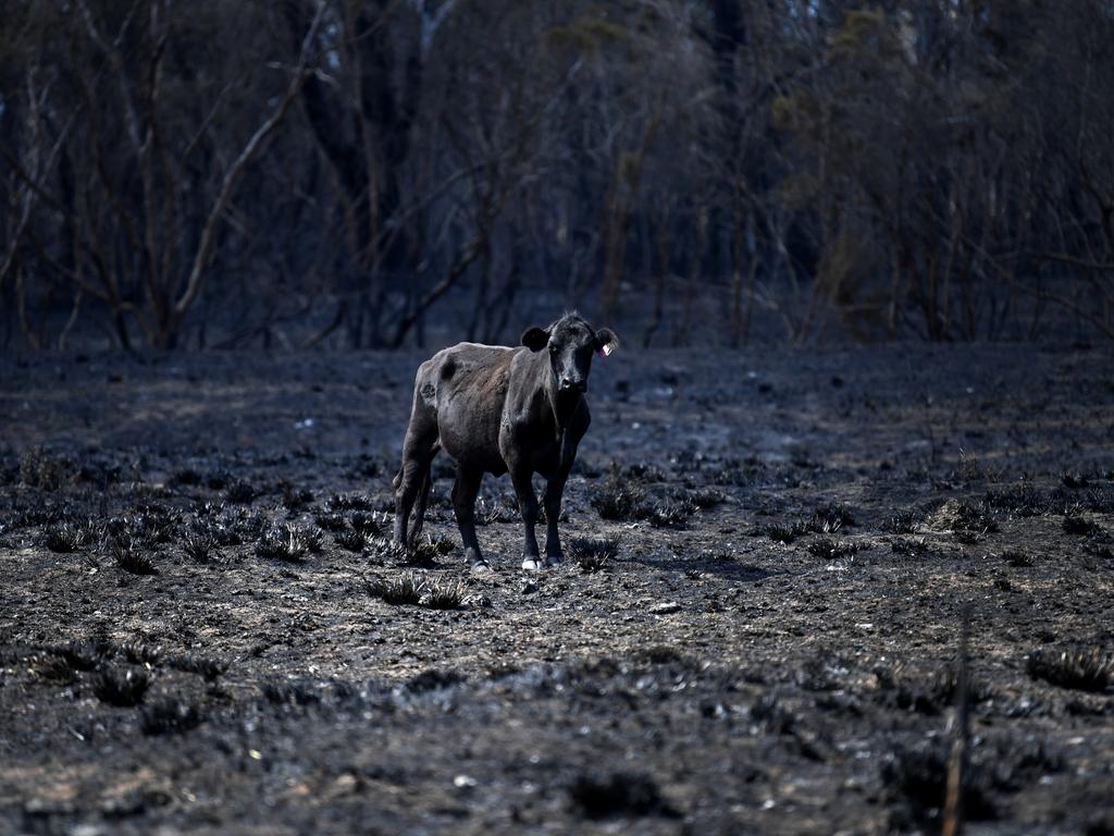 A cow stands in a burnt-out field in Rappville, NSW, where several properties were lost. Picture: Dan Peled/AAP