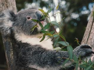 Great Australian Wildlife Collection by Discovery channel. Koala bear eats leaves in tree. Phascolarctos cinereus. South Australia.