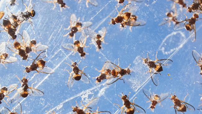 Releasing 2 Million Sterile Fruit Flys