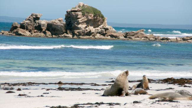 Much-loved sea lion colony. Source: iStock