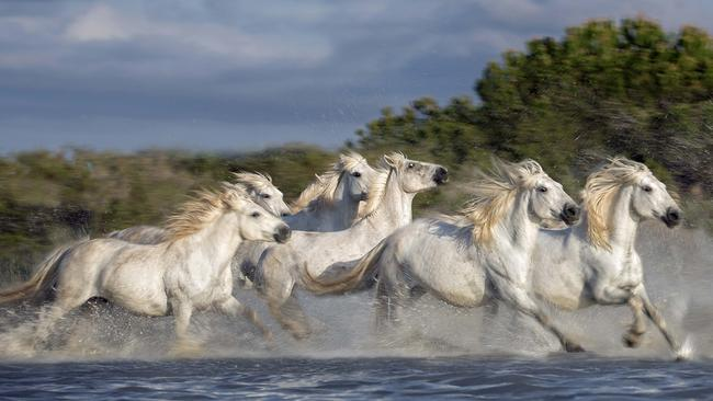 Despite having relatively unknown origins, the horses are considered to be one of the oldest breeds in the world.