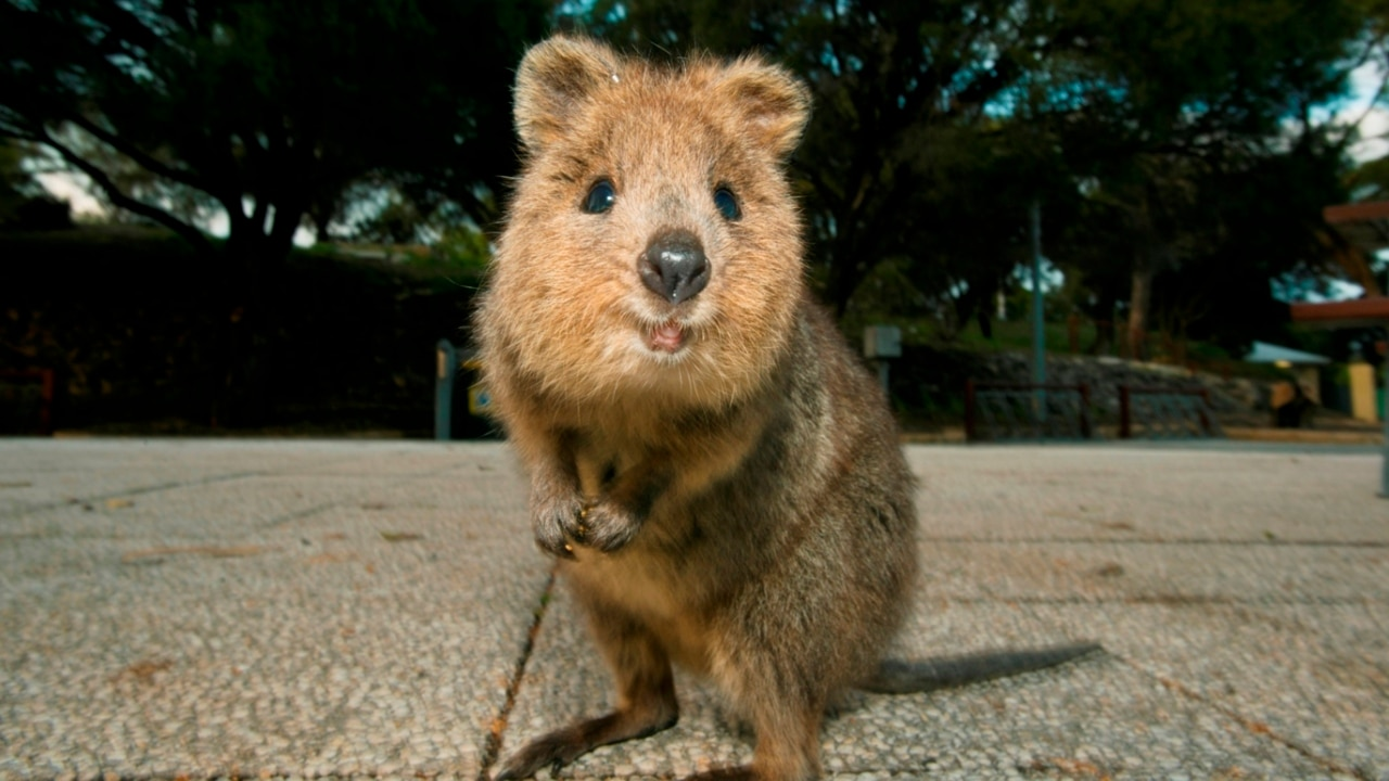 The Quokka is getting its own national birthday