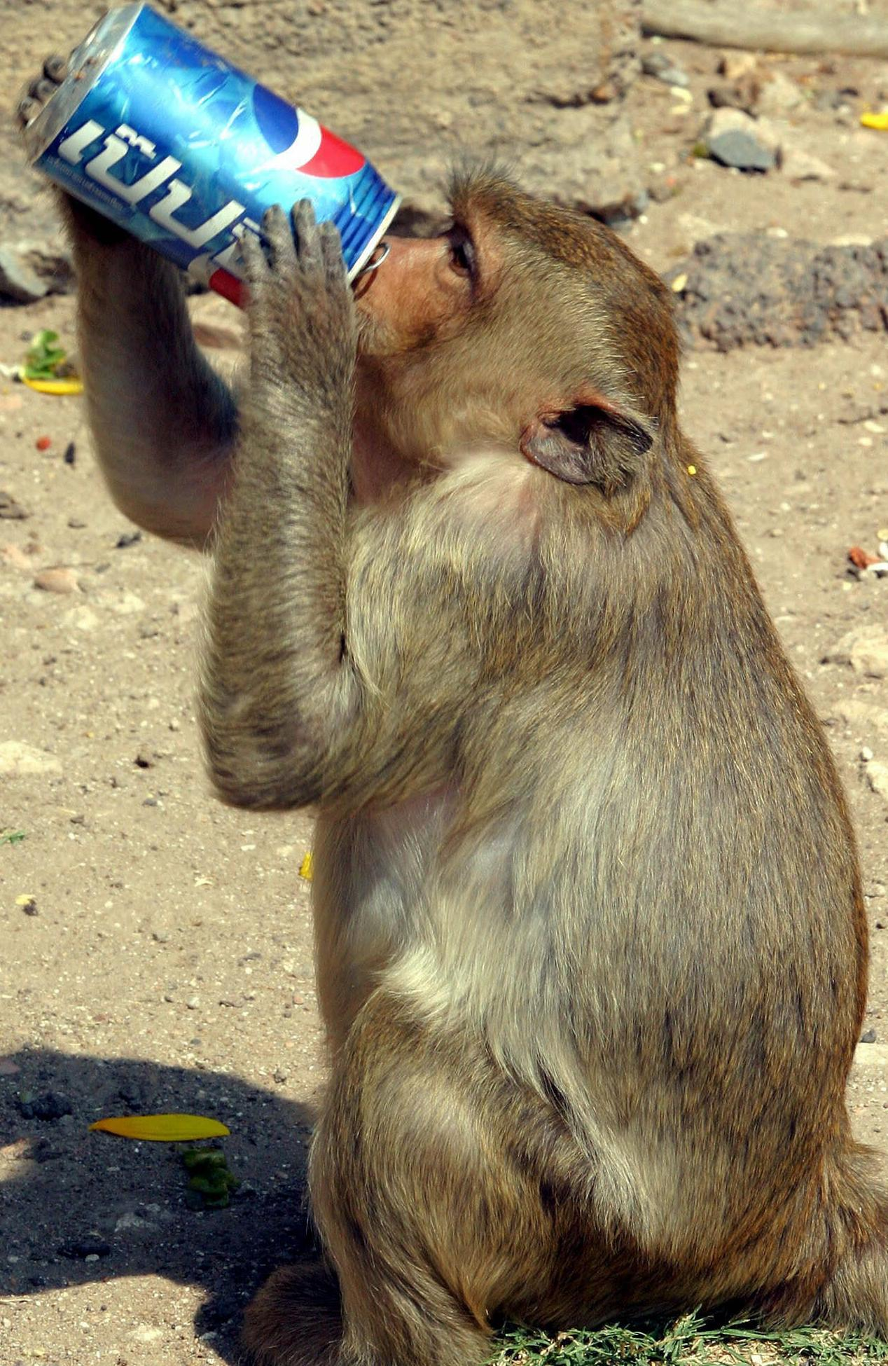 NOVEMBER 30, 2003 : A monkey drinks a can of Pepsi during the monkey feast at the Pra Prang Sam Yot temple in the city of Lopburi, about 150 km north of Bangkok, Thailand, 30/11/03. Scores of monkeys which inhabit the city are treated to a banquet of fruit and vegetables and soft drinks every year in November as the city's way of thanking them for drawing tourists to the town. Thailand / Animal Travel