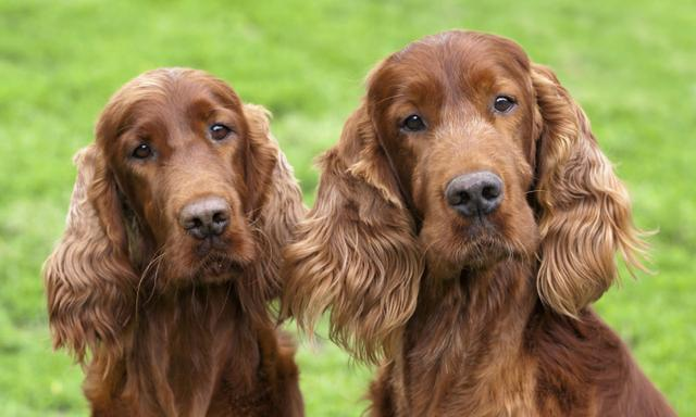 best dog breeds for families different kids personalities Irish setter dog