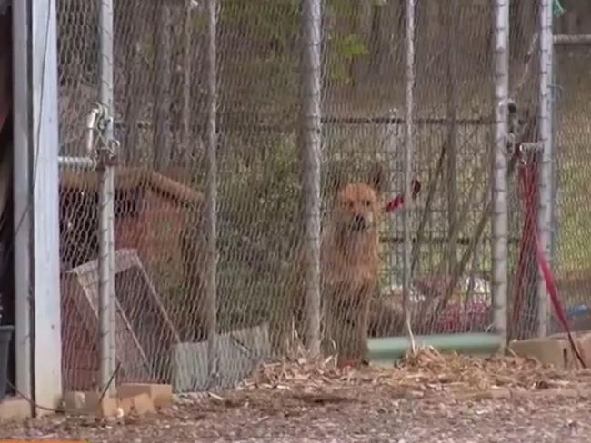 The dogs have been caged on the property where a woman was attacked. Picture: Channel 9