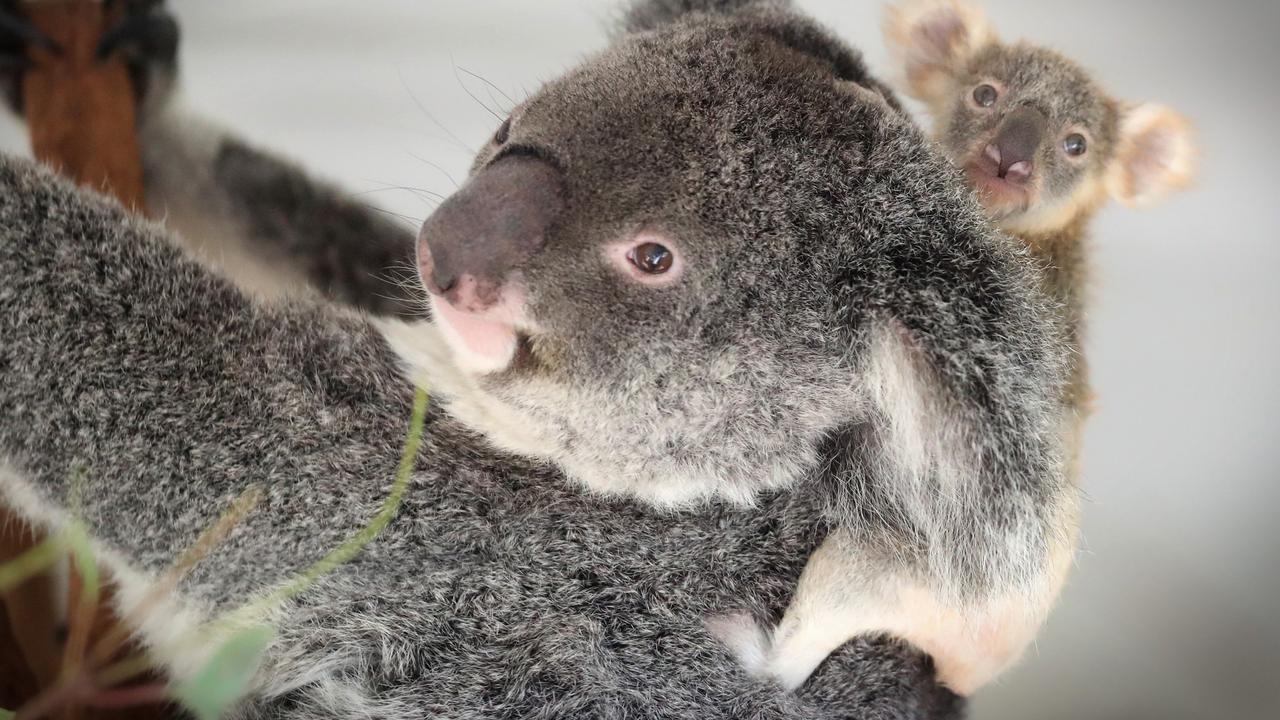 Koalas are now functionally extinct. Picture: Jamie Hanson