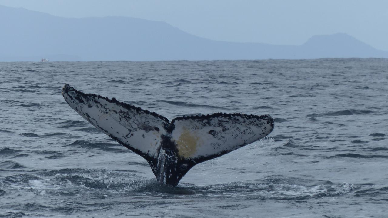 The fluke is unique to each whale, similar to a fingerprint on a human. Pic: Madeleine Brasier