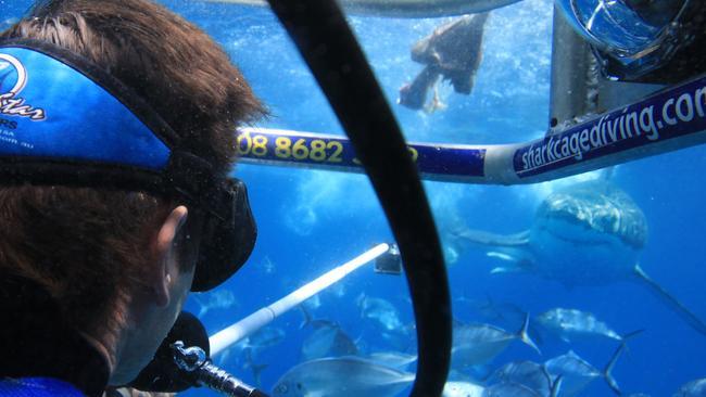 V8 shark diving