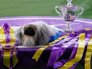 """Pelkingese dog """"Wasabi"""" is seen with the trophy after winning Best in Show at the 145th Annual Westminster Kennel Club Dog Show June 13, 2021 at the Lyndhurst Estate in Tarrytown, New York. - Spectators are not allowed this year, apart from dog owners and handlers, because of safety protocols due to Covid-19. (Photo by TIMOTHY A. CLARY / AFP)"""