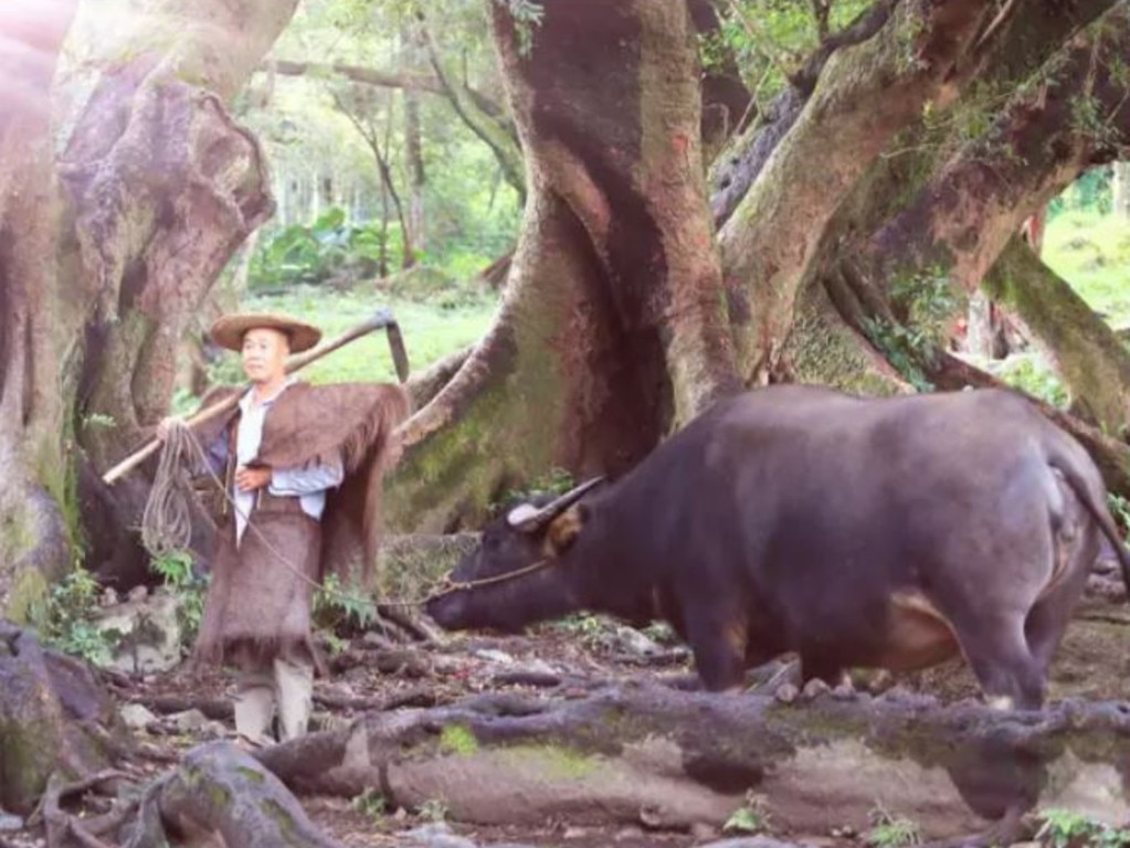 A pretend farmer with a water buffalo. Picture: Sina Travel/Weibo