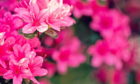 """AZALEA. Ever since Aussie rapper Iggy Azalea appeared on the scene, I've been in love with the sound of this floral forename. Just like the shrub that explodes with brilliantly coloured blossoms every spring, this sobriquet pops into your face and refuses to be forgotten.<p><a href=""""https://www.istockphoto.com"""">Credit: iStock.</a></p>"""