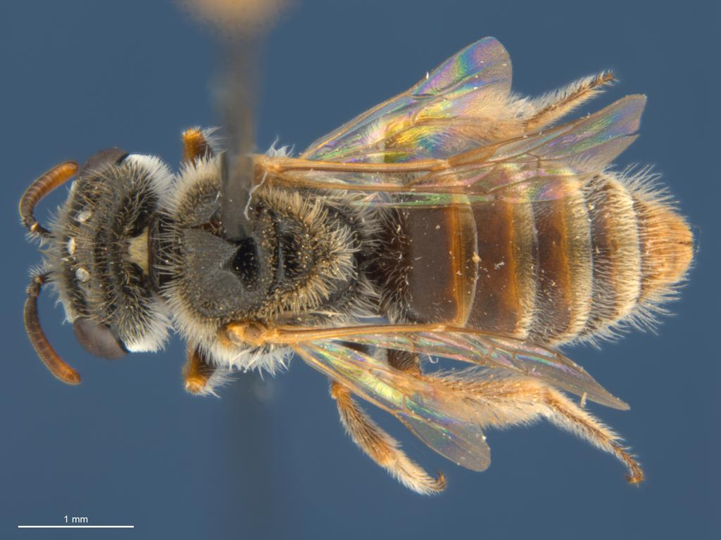 A new kind of silk bee, laciniosus, one of 26 new species of bees found by South Australian researchers in the Outback