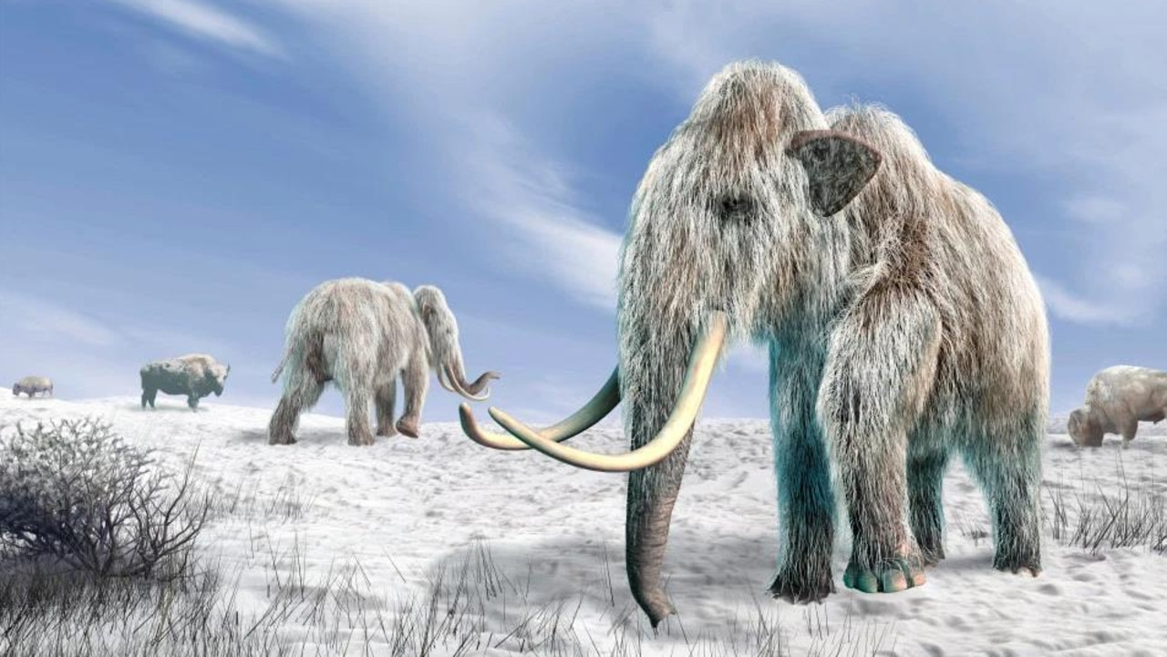 An artist's impression of woolly mammoths, an extinct relative of Asian elephants. Picture: Getty