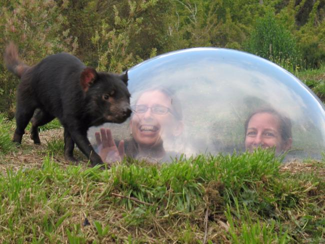 17. MEET A TASMANIAN DEVIL The revolutionary concept of the Tasmanian devil Unzoo is the first park of its kind that allows humans to get up close to the endangered animals without cages or barriers.