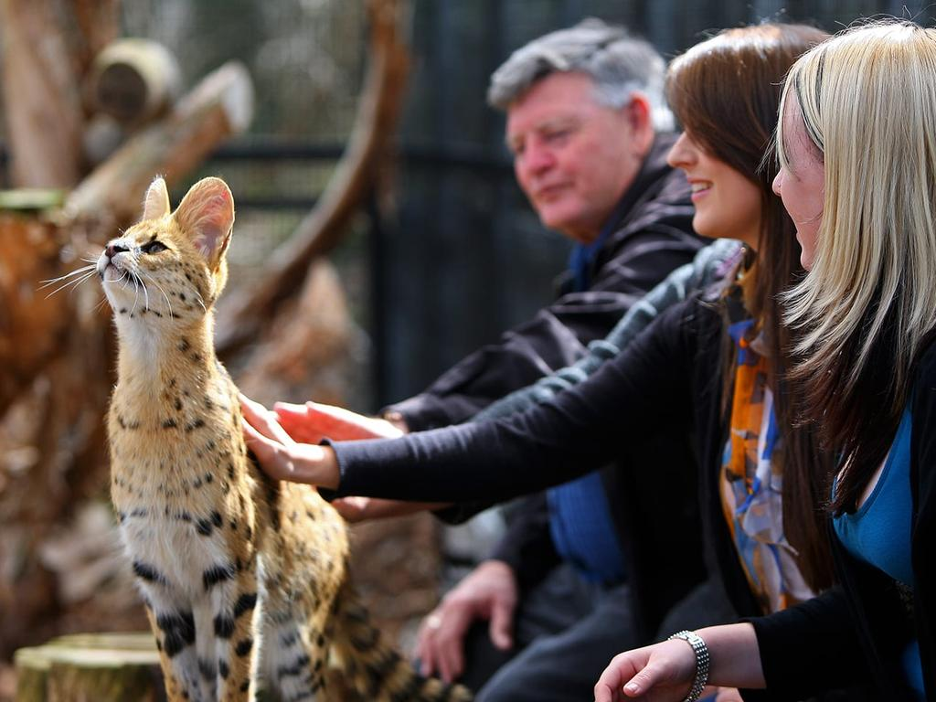You can pat a serval at the Werribee Open Range Zoo.