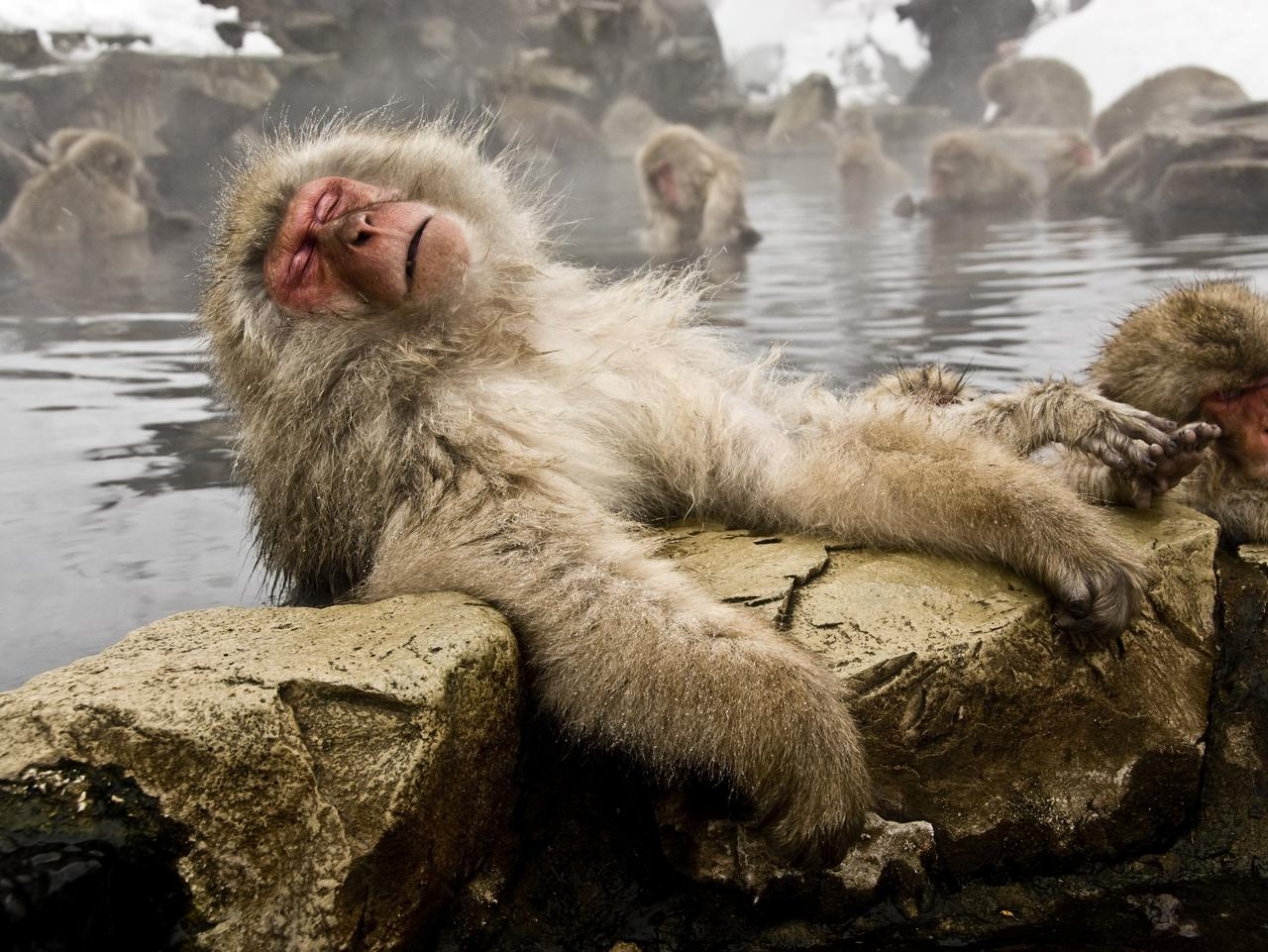 Snow monkeys (Japanese macaque) relaxing in a hot spring pool (onsen)at the Jigokudani-koen in Nagano Japan. Shot in early March.