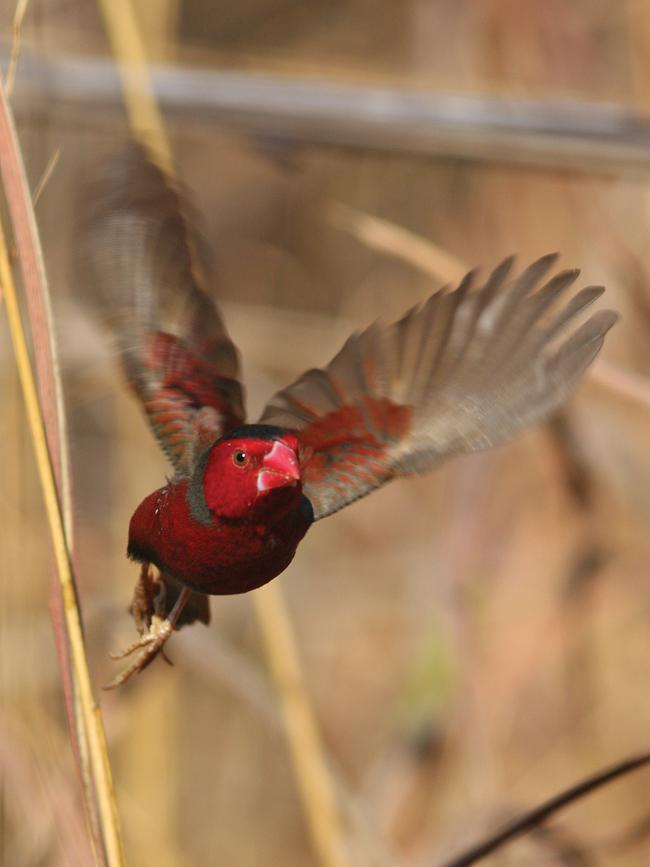 3/12NORTHERN TERRITORY: Crimson Finch live in tall grass and pandanus habitats along drainage lines and rivers. They are common along the banks of the Victoria River, which flows from the Timor Sea to the Gregory National Park, south of Darwin.