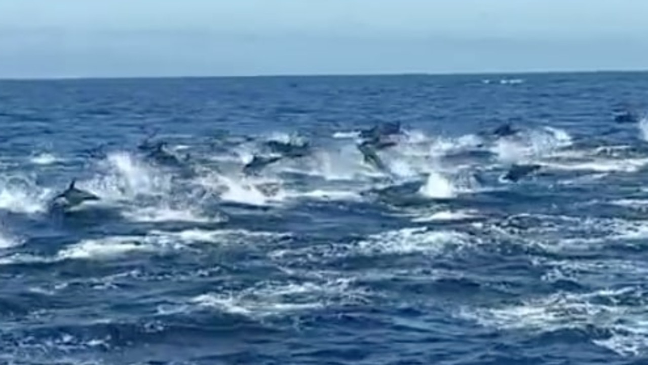 Stampede of dolphins in California.
