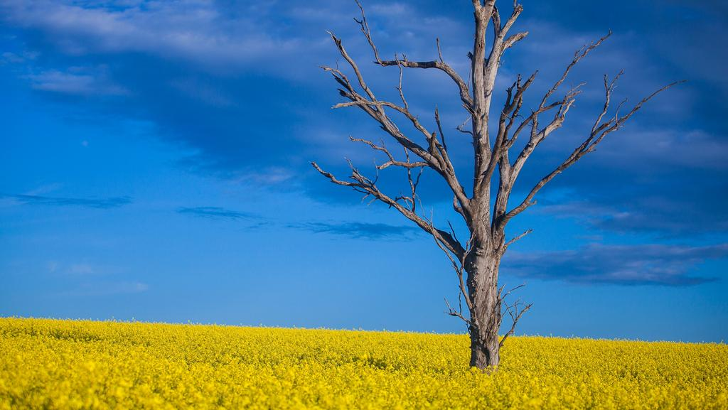 NSW Riverina's Canola Trail celebrates its bounty | The Weekly Times