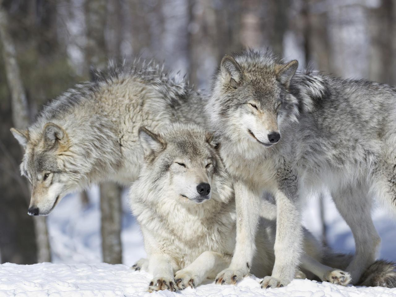 three wolves in nature during winter
