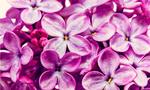 """LILAC. Lilac has a familiar feel to it – perhaps via the popular Lily – but it remains an unusual given name. The fragrant purple blooms give it a pleasurable association.<p><a href=""""https://www.istockphoto.com"""">Credit: iStock.</a></p>"""