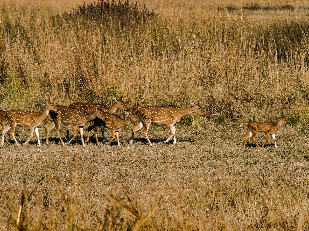 The chital or spotted deer (Axis axis) herd inside Tadoba Andhari Tiger Reserve in Maharashtra,