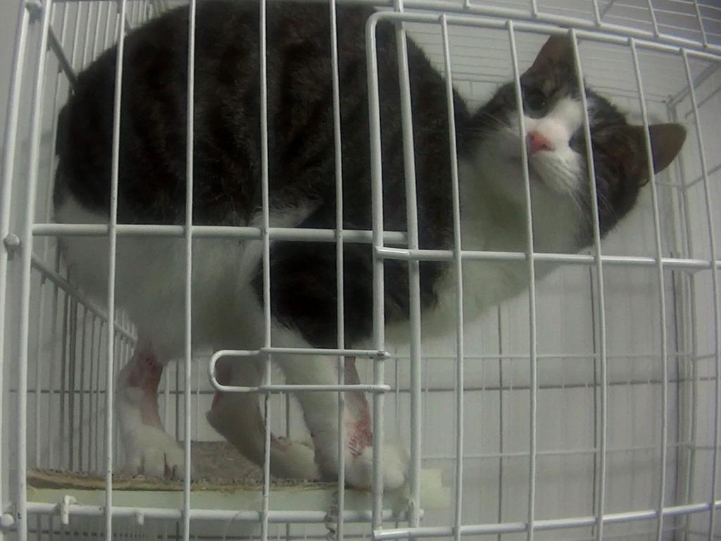 A cat left with sores on its legs following tests. Picture: Cruelty Free International/Newsflash/australscope