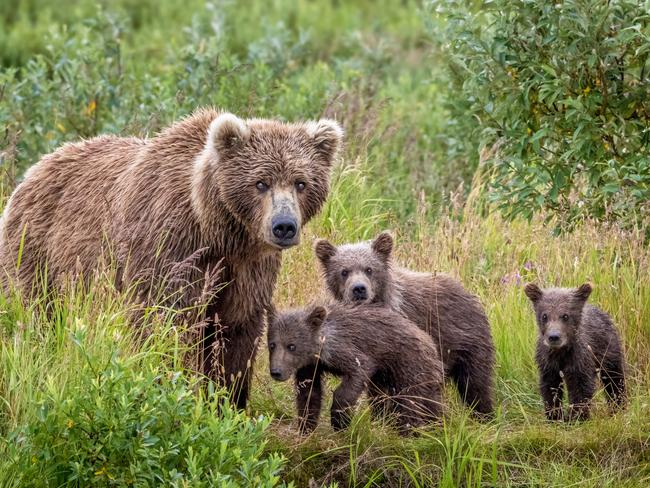 Brown Bear and her cubs in Alaska. Picture: Art Wolfe