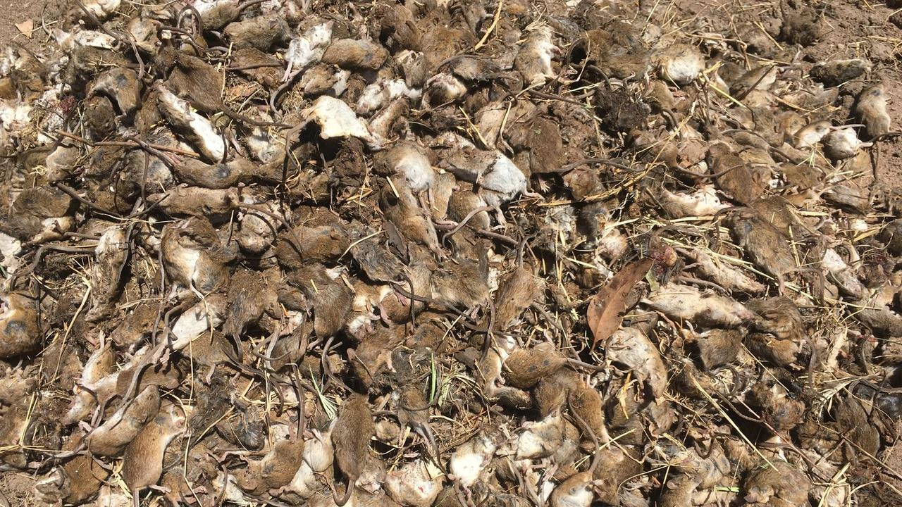 Farmers say the mice have decimated their crops.